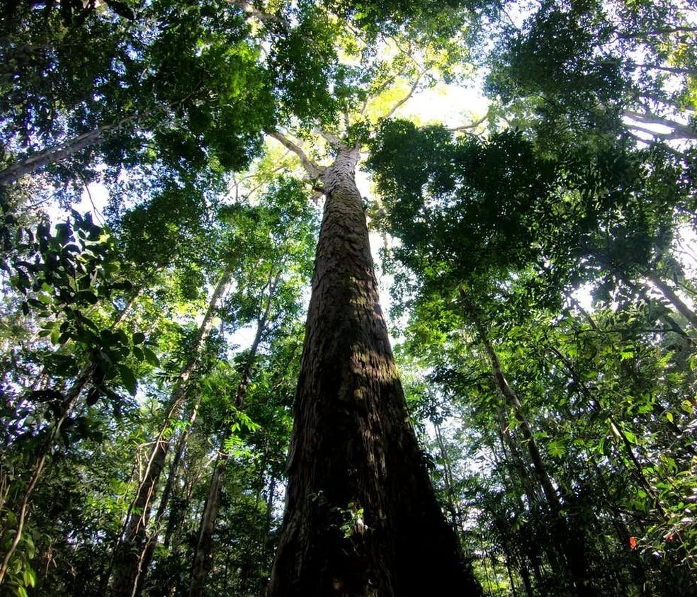 A árvore mais alta da Amazônia brasileira é da espécie Angelim Vermelho e está localizada na Floresta Estadual do Parú, no Pará — Foto: Tobias Jackson/Divulgação