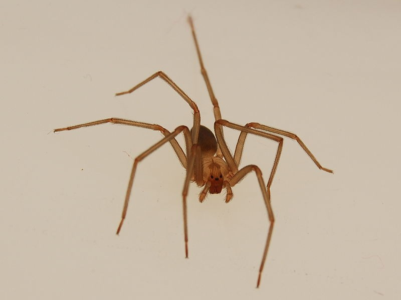 Aranha-violinista (Loxosceles reclusa) (Foto: mattb/Wikimedia Commons)