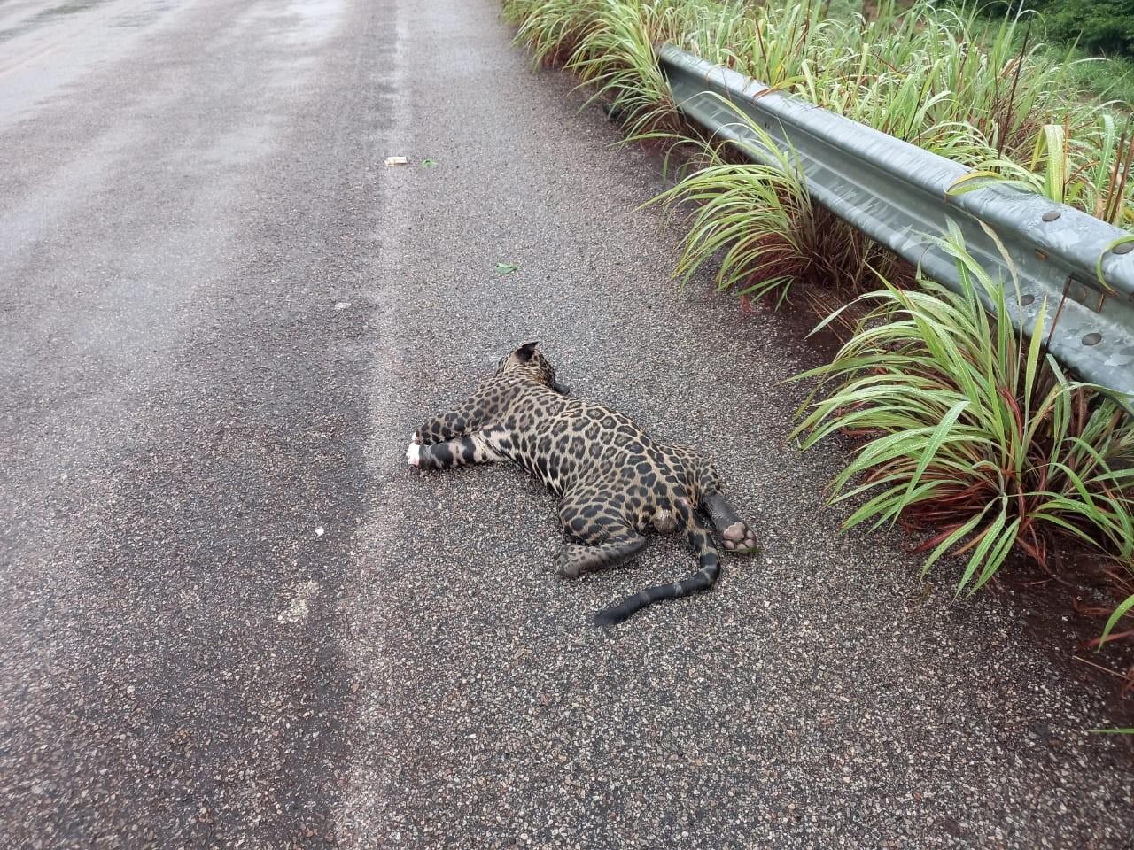 Motorista encontra onça pintada atropelada e com as patas cortadas em rodovia estadual