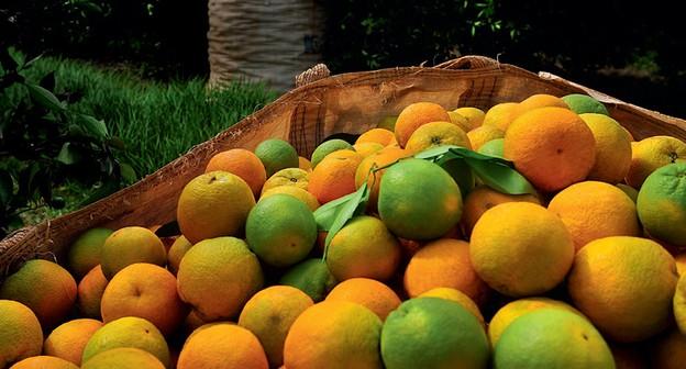 Greening volta a avançar pelos pomares de citros e técnicos reforçam alerta