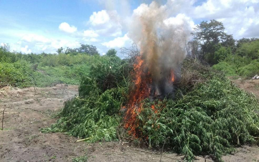 Plantação foi encontrada e incinerada do distrito de Ibó (Foto: Divulgação/SSP-BA)