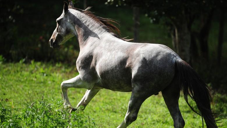 cavalo_mangalarga_marchador (Foto: Ernesto de Souza/Ed. Globo)