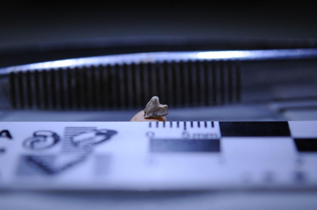 Dente tem apenas 3,5 milímetros, mas é três vezes maior do que quase todos os dentes da era Mesozoica (Foto: Divulgação/Fapesp)