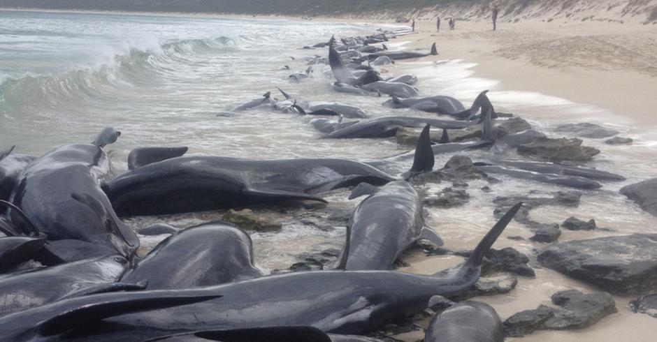 Baleias encalhadas na Austrália Ocidental (Foto: Governo da Austrália Ocidental)
