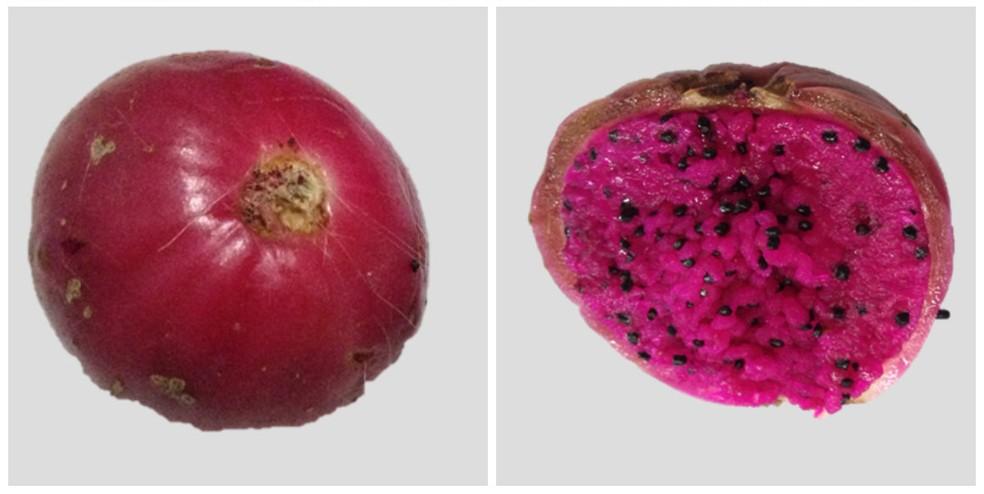 Fruto do xique-xique — Foto: Arquivo Pessoal Ana Cibele