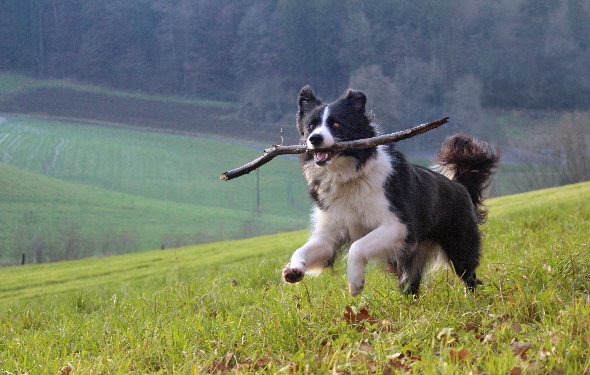 Border Collie (Foto: Flickr/Corinne Benavides)