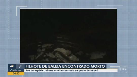 Filhote de baleia jubarte é encontrado morto em praia de Itapoá