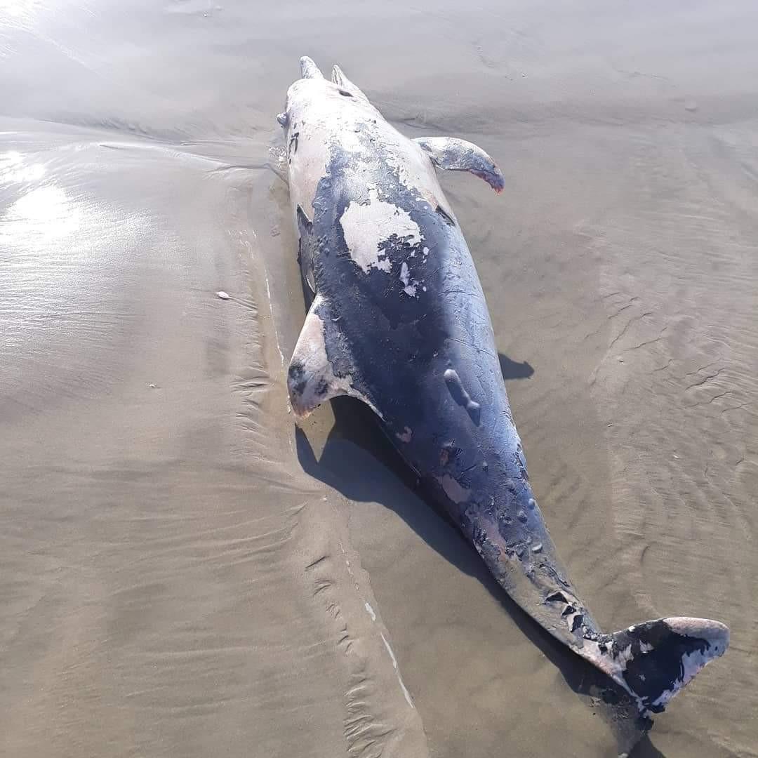 Carcaça de golfinho em decomposição é encontrada em praia de SP