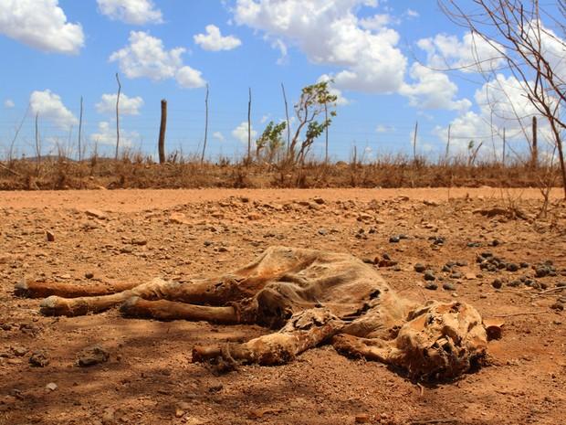 Parte do gado foi dizimado pela seca e carcaças são encontradas pela estrada (Foto: Patrícia Andrade/G1)