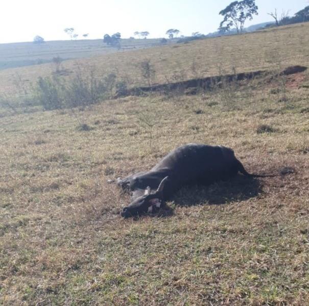 Boi morre de raiva de herbívoro em Oriente, Marília (SP) (Foto: Secretaria de Agricultura e Abastecimento SP)