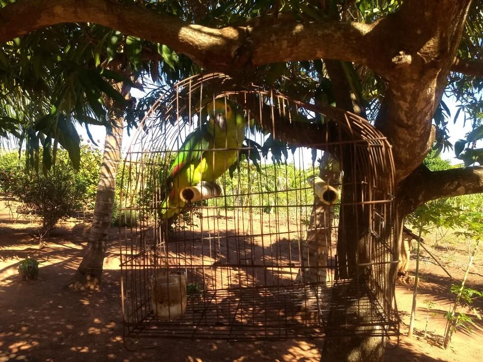 Papagaio-verdadeiro foi localizado em chácara, em Panorama — Foto: Polícia Ambiental