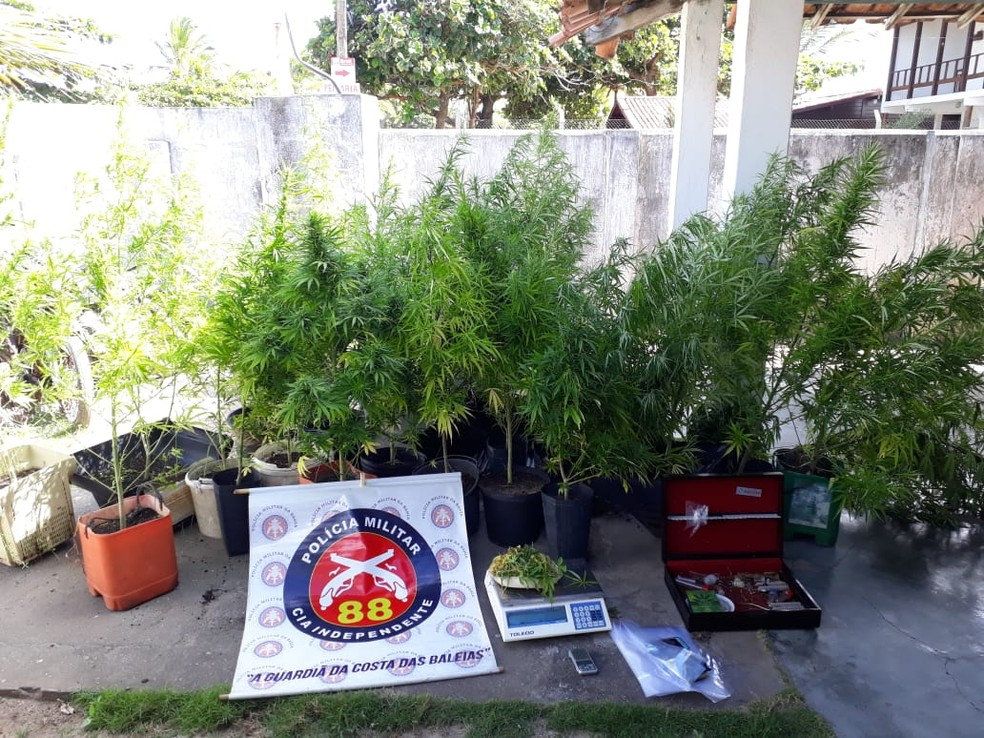 Polícia apreendeu 105 pés de maconha orgânica  — Foto: Divulgação/Polícia Militar