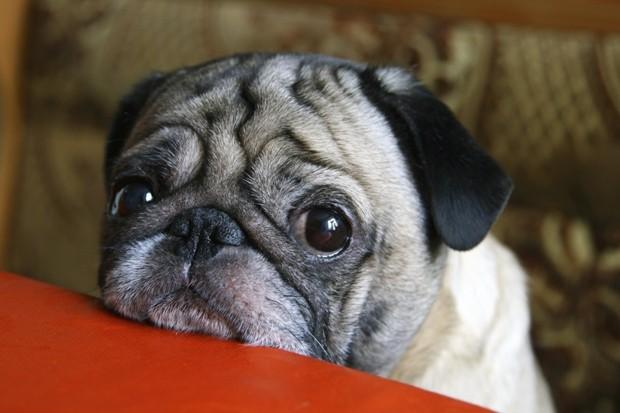 """Olhar de """"coitadinho"""" é uma artimanha dos cachorros (Foto: Thinkstock)"""