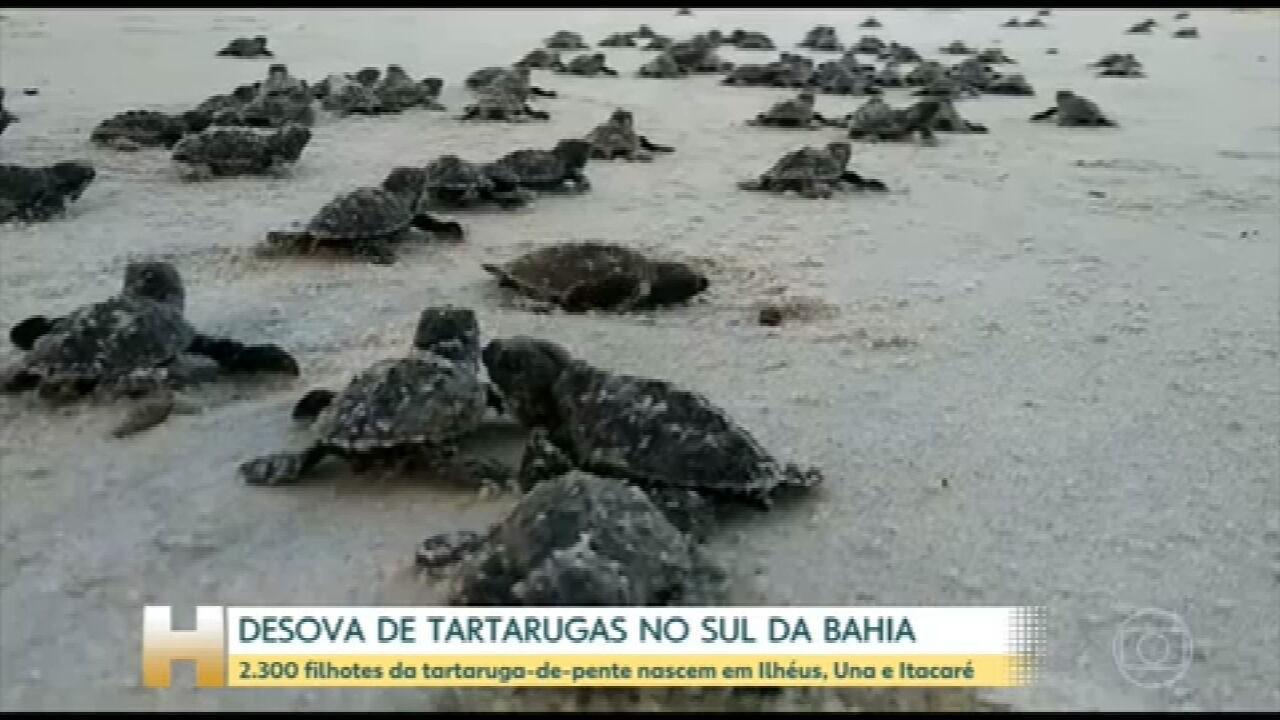 Duas mil e trezentas tartarugas marinhas nascem no sul da Bahia