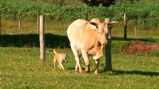 Relação de 'amizade' entre touro de rodeio e cachorro vira-lata chama atenção no noroeste do Paraná