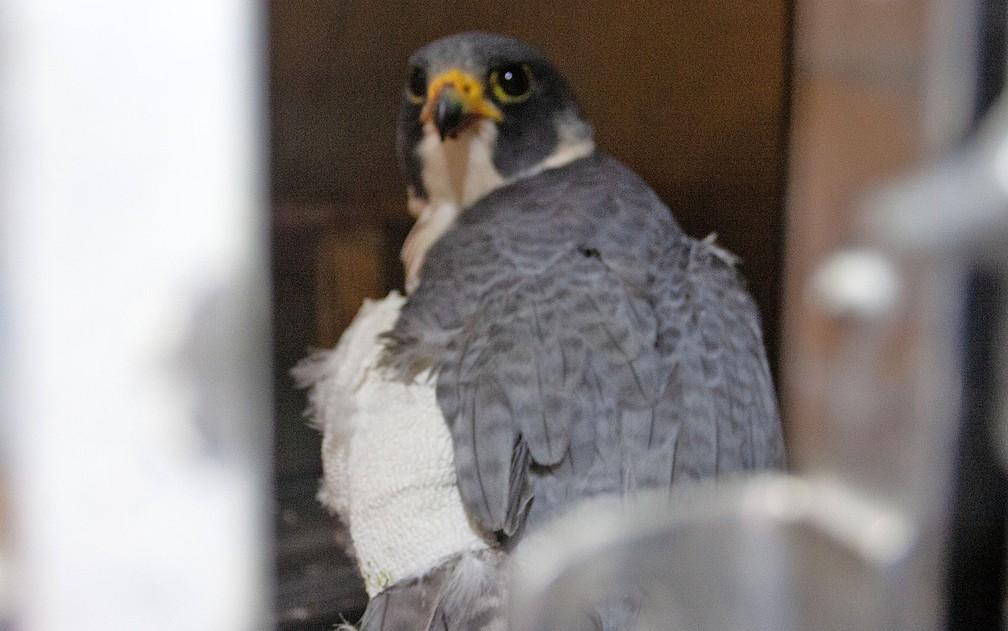 Falcão peregrino, espécie rara de se encontrar no Brasil e considerada a ave mais veloz do mundo, se recupera no CRAS (Centro de Recuperação de Animais Silvestres) — Foto: Deslange Paiva/G1