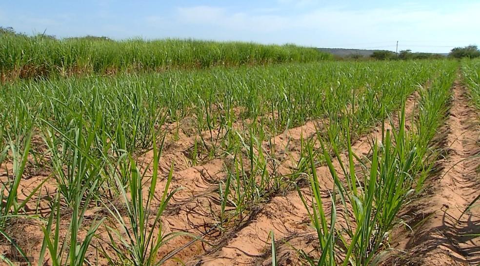 Plantação de cana-de-açúcar no Vale do Açu, no Oeste potiguar — Foto: Reprodução/Inter TV Costa Branca