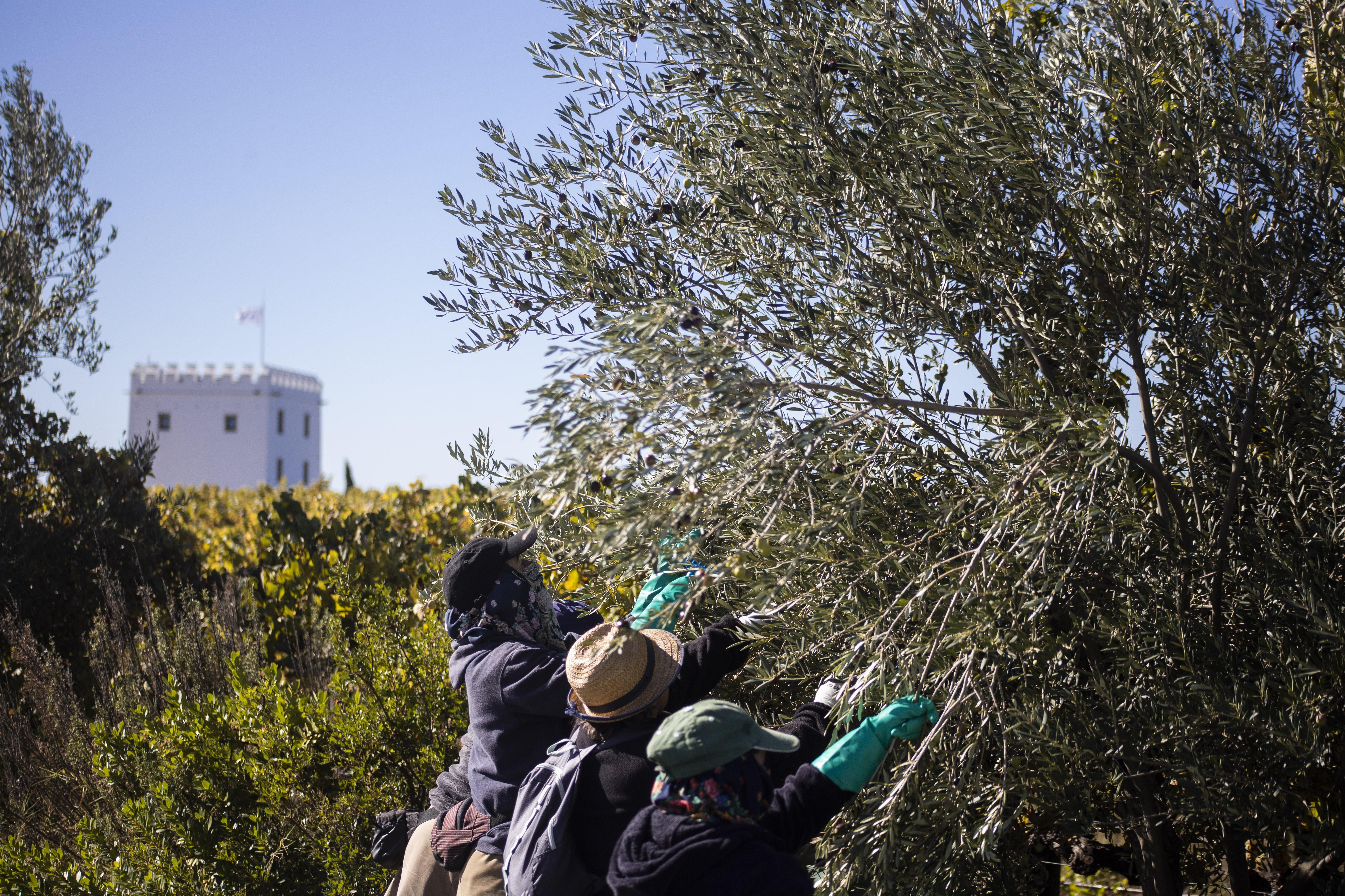 colheita-azeitona-azeite (Foto: Herdade Esporão)