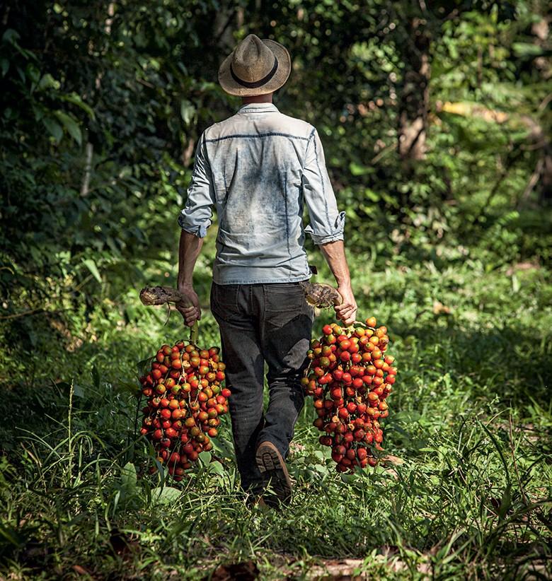 Amazônia - Produtor carrega cachos de pupunha colhidos na Reca, em Rondônia (Foto: Fernando Martinho)
