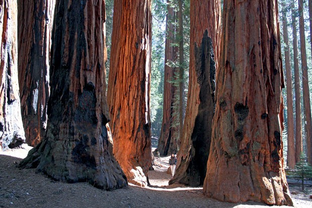 As enormes sequoias do The Giant Forest