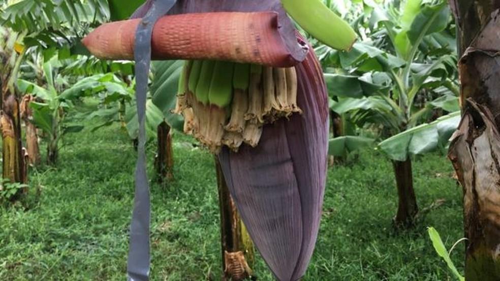 Bananas são a fruta mais exportada do mundo (Foto: BBC)