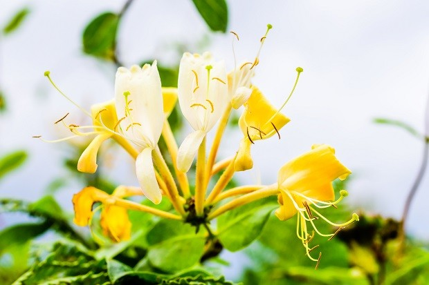 Lonicera periclymenum or honeysyckle, also woodbine, flowers in autumn. (Foto: Getty Images/iStockphoto)
