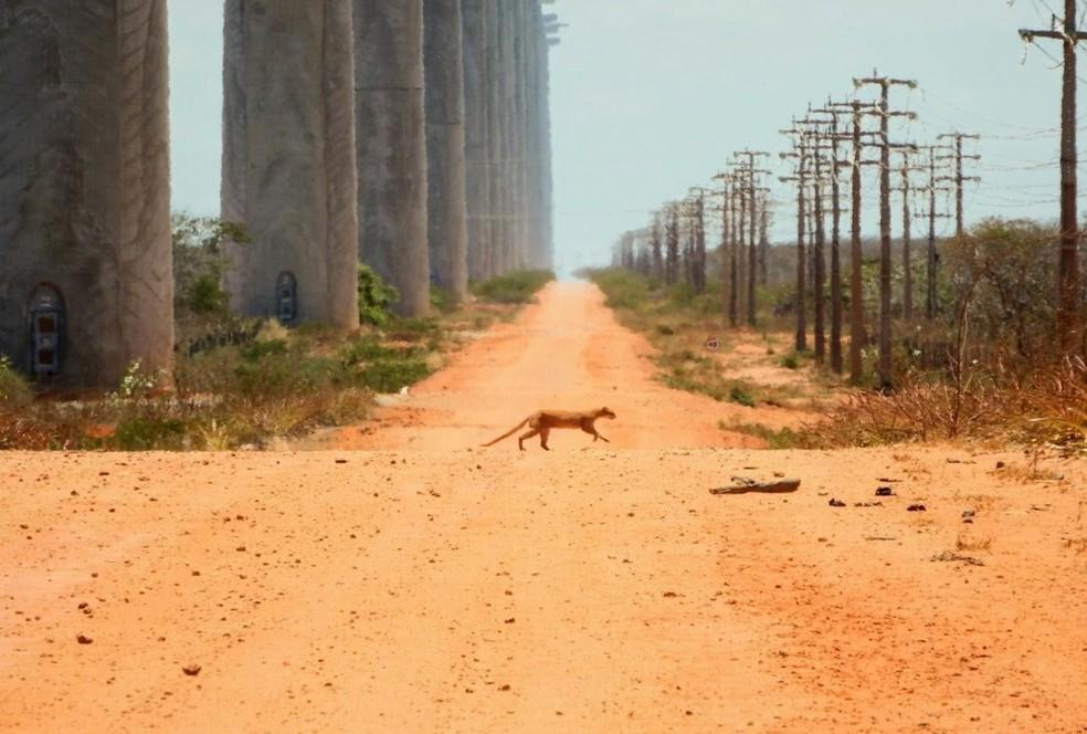 Flagrante de gato-mourisco atravessando a estrada é um dos destaques no acervo do fotógrafo — Foto: Pedro Medeiros/VC no TG
