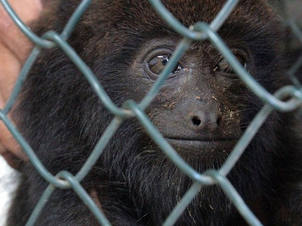 O macaco da espécie  bugio resgatado em Macaé, RJ (Fot Maurício Porão/Secom Macaé)
