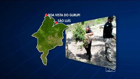 Polícia Civil apreende 42 mil pés de maconha no oeste do Maranhão