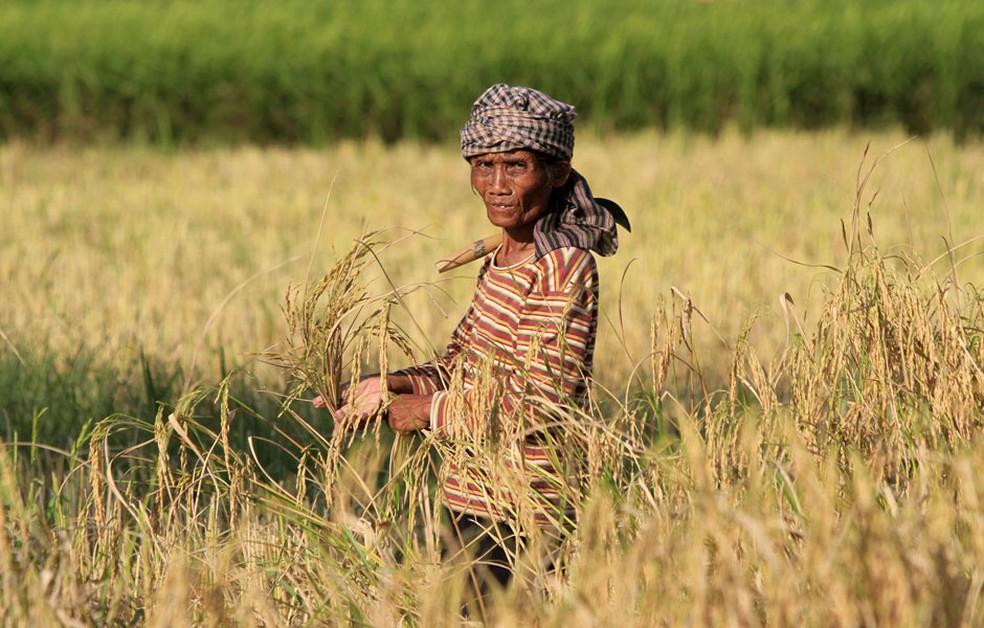 Camponesa trabalha em uma plantação de arroz no Camboja.  (Foto: Chor Sokunthea / Reuters / Arquivo)