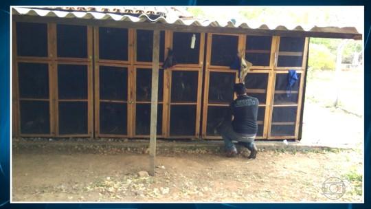 Polícia prende mais de 40 pessoas em uma rinha de galo na Região Central de MG