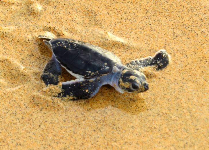 Projeto Tamar não vai retomar monitoramento de tartarugas em Noronha nesta temporada