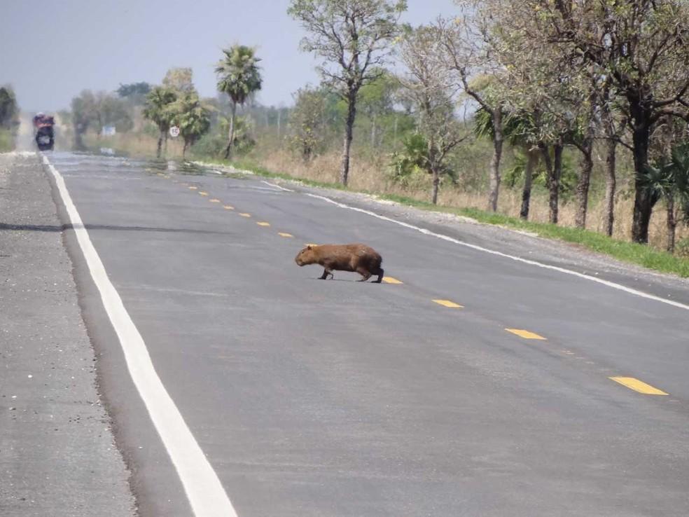 Capivara atravessando a BR-262 na região de Miranda: animais vivem à beira da rodovia e atravessam em busca de alimento — Foto: Julio César de Souza/Arquivo pessoal