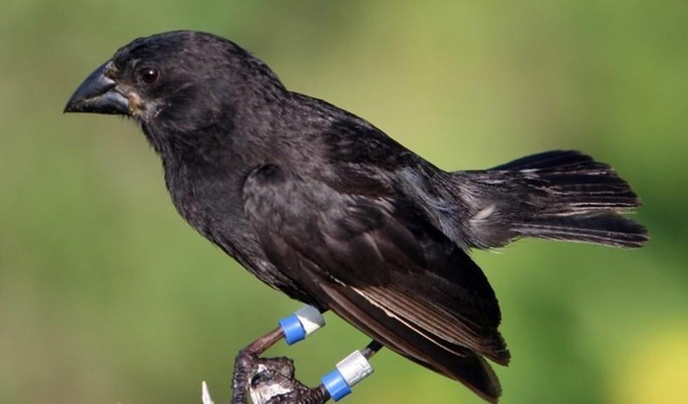 Ave membro da espécie Geospiz fortis, a qual pertencia a fêmea que acasalou dando início à nova linhagem (Foto: P.R.Grant)