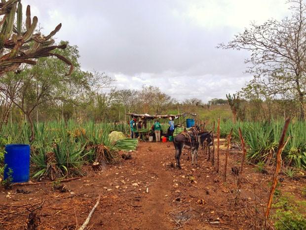 Meio à vegetação, produtores trabalham na máquina antiga de sisal (Foto: Henrique Mendes / G1)