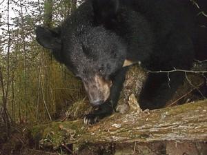 """Exemplar de urso-negro-asiático """"flagrado"""" na região de Sichuan (Fot WWF/Peking University)"""