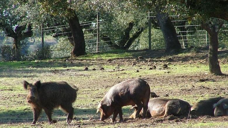 javali-caça (Foto: Flickr)