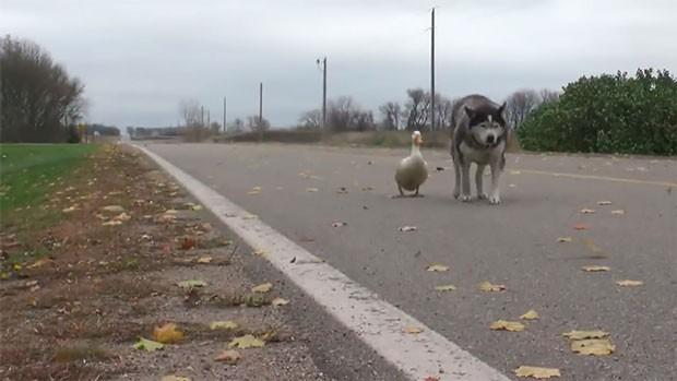 Max, um cachorro de 12 anos, e Quackers, um pato de 4 anos, são amigos inseparáveis (Foto: Reprodução)