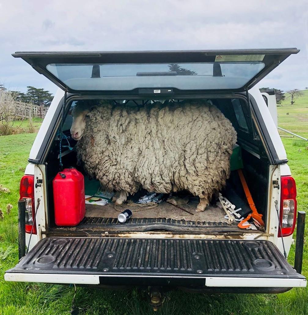 Tamanho da ovelha Prickles motivou bolão para tentar acertar o peso da lã que será tosada do animal — Foto: Reprodução/Facebook/Alice Gray