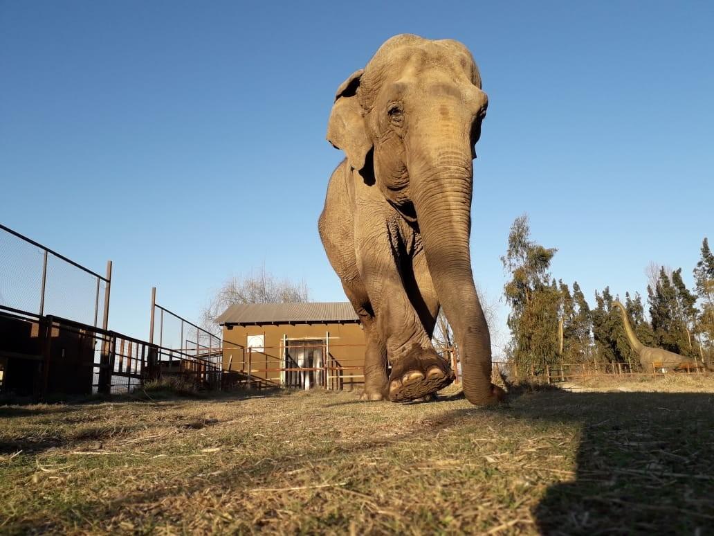O resgate de Ramba, a elefanta que penou quatro décadas em circos e cativeiros - Notícias - Plantão Diário