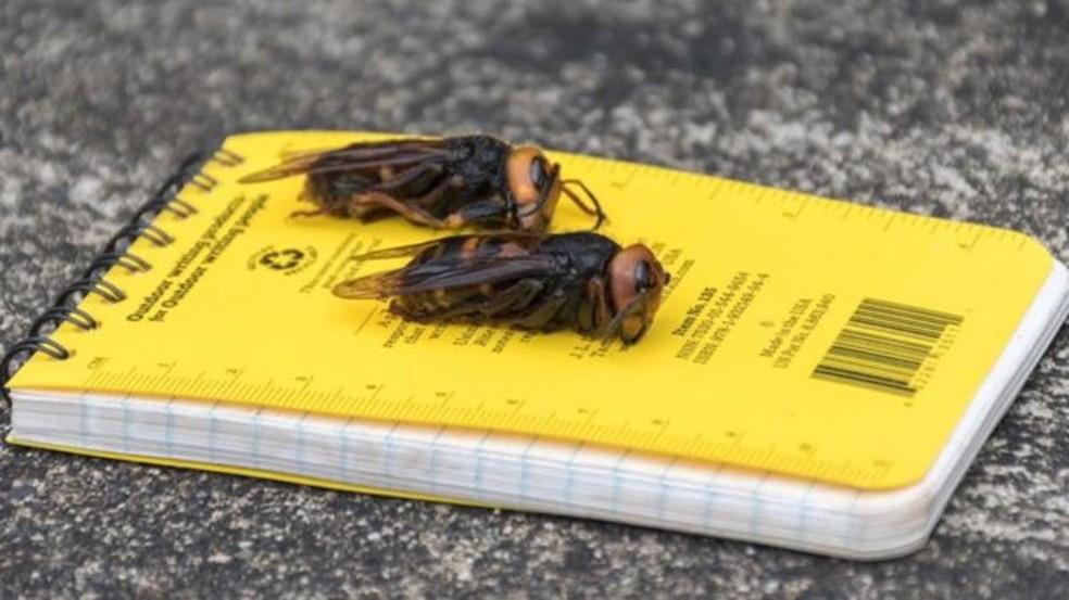 Vespas gigantes asiáticas têm provocado alarme em diversas regiões dos Estados Unidos — Foto: WASHINGTON STATE DEPARTMENT OF AGRICULTURE via BBC
