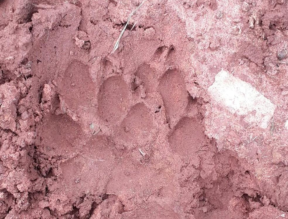Pegadas foram encontradas próximo ao local onde os bezerros foram mortos em Paulo de Faria  — Foto: Arquivo Pessoal