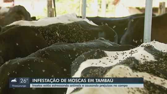 Infestação de 'moscas dos estábulos' estressa animais e gera prejuízo na zona rural de Tambaú