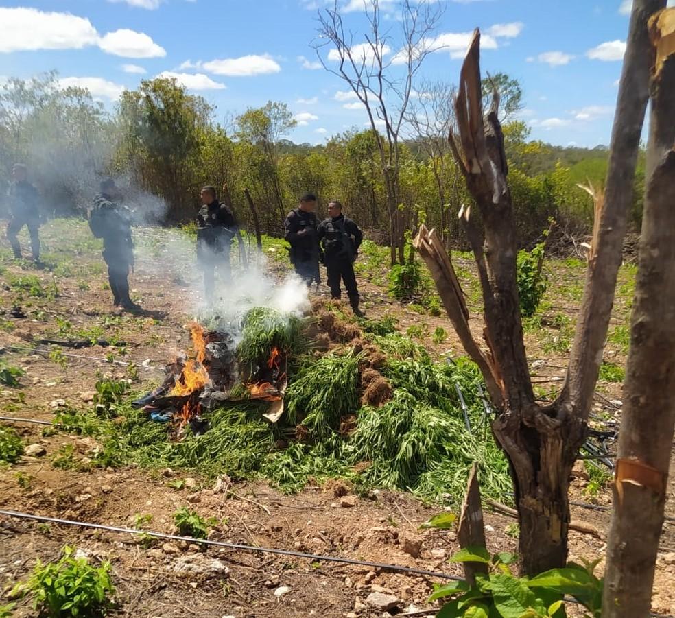 Polícia encontra e destrói plantação de maconha no interior do Ceará — Foto: Arquivo pessoal