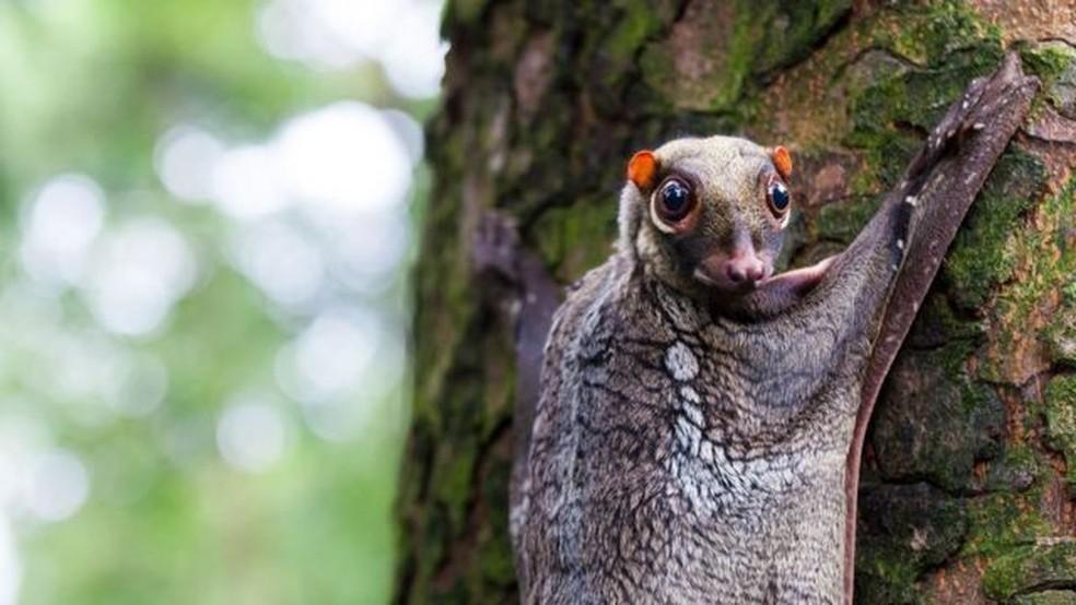 As habilidades de camuflagem dos colugos os ajudaram a passar despercebidos da atenção popular — Foto: Vincent St. Thomas/Getty Images/Via BBC