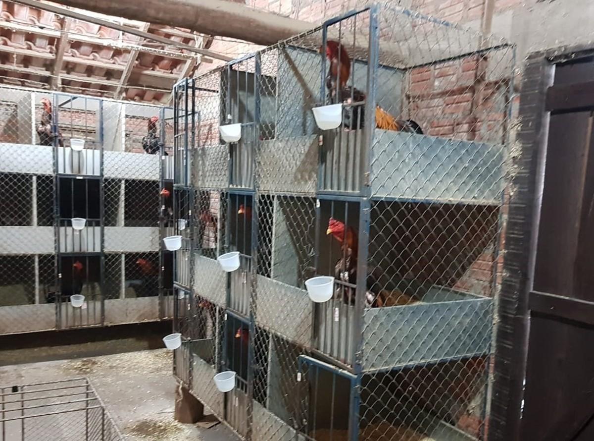 Polícia desarticula rinha de galo com mais de 200 animais em Taquara - G1