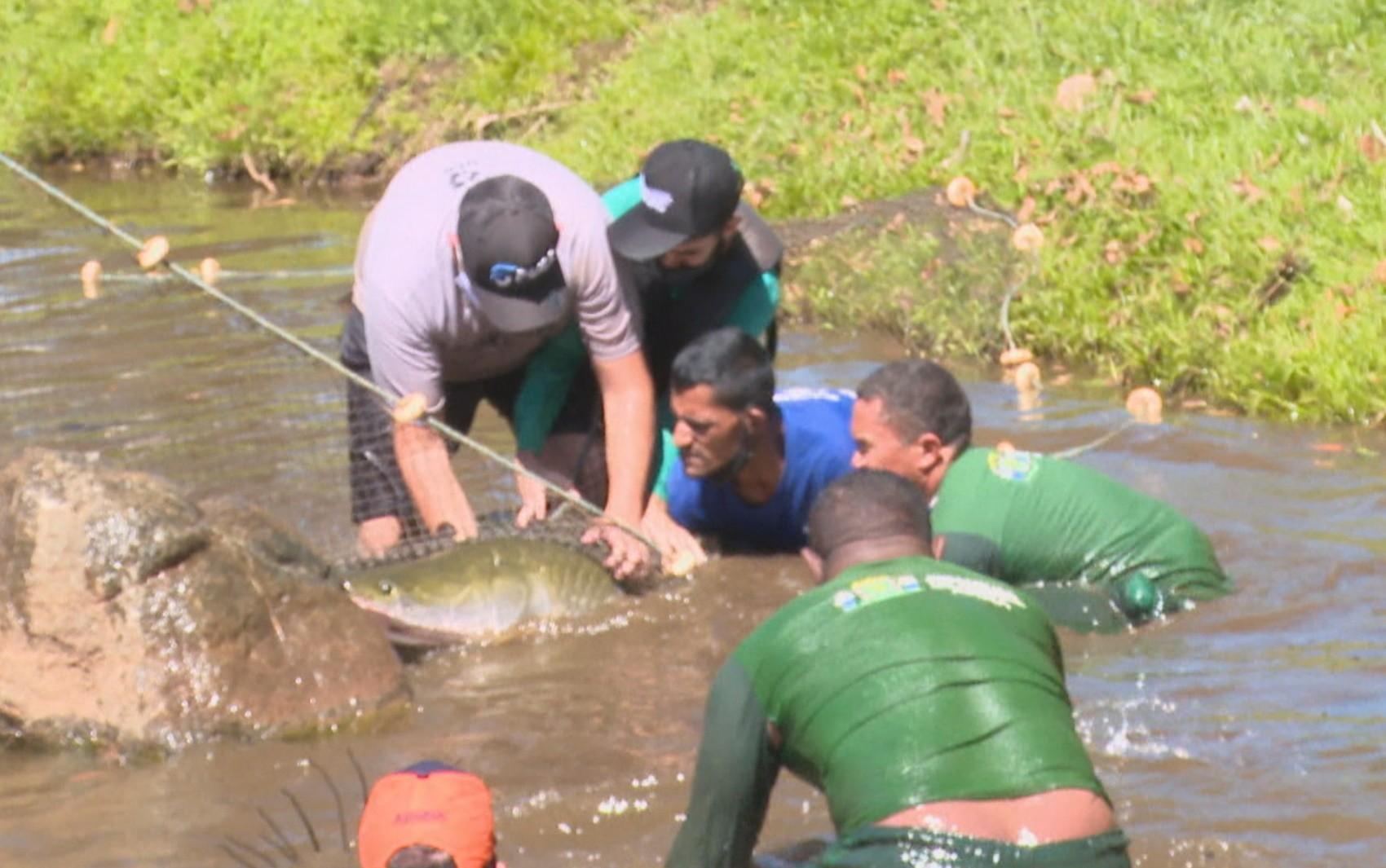 Força-tarefa retira pirarucu de quase 2 metros de lago após 2h e peixe fugir quatro vezes da rede em Goiânia; vídeo