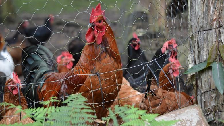 galinheiro-cerca-galinha-galo-ave (Foto: Pxhere/CreativeCommons)