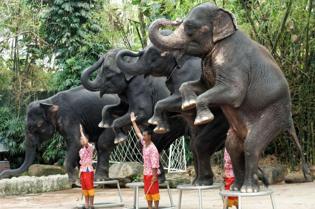 elefantes-tailandia-turismo (Foto: Reprodução World Animal Protection)