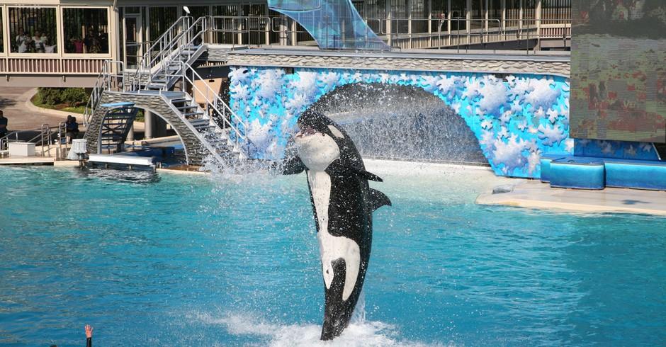 Na mesma perspectiva que a proibição de animais em atrações circenses, em 2016, o parque aquático SeaWorld, na Flórida (EUA) afirmou que não irá mais criar orcas em seu cativeiro. Desde 2017, está apostando também em apresentações mais educativas. (Foto: kkinjo/ Flickr)